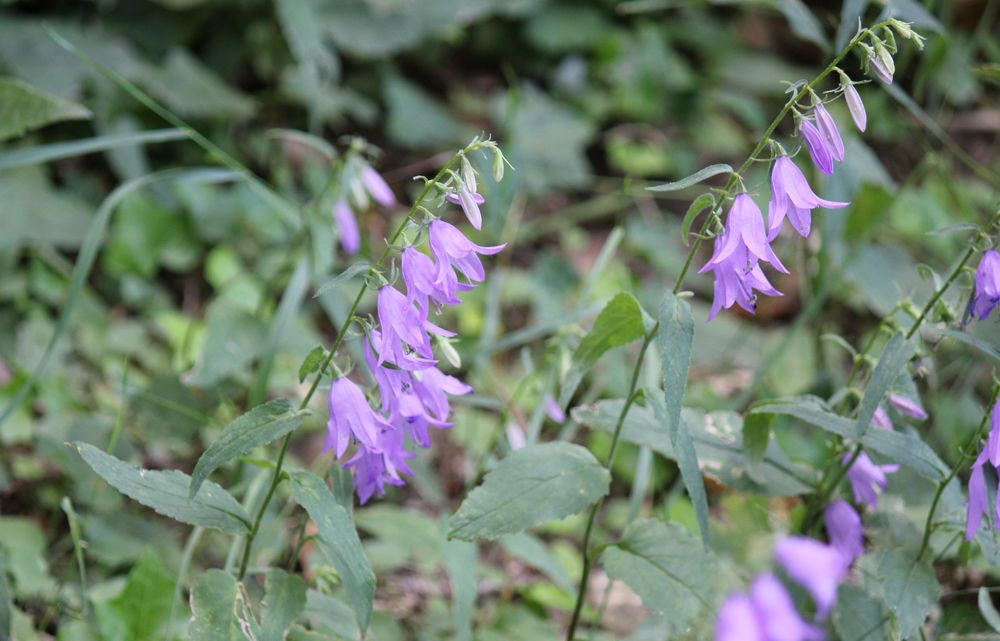 www.floramyno.com : Campanule fausse raiponce